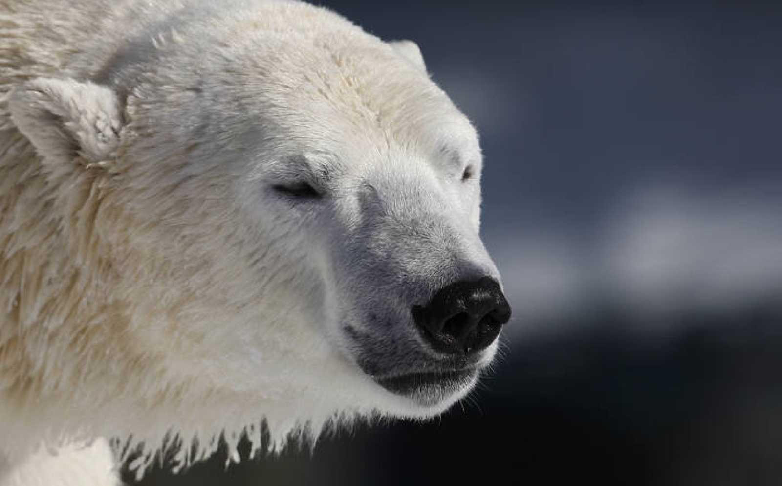 A polar bear is seen at St-Felicien Wildlife Zoo in St-Felicien