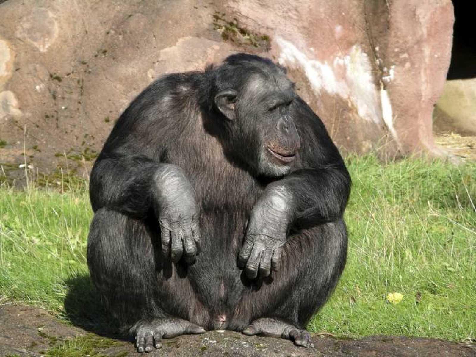 Un chimpancé derriba a pedradas una nueva frontera entre