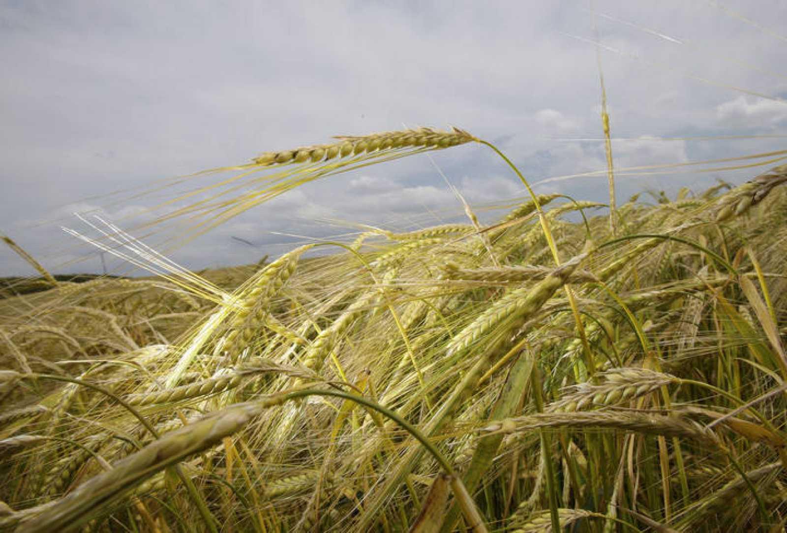 En los graneros de Dhra' se han encontrados restos de cebada salvaje, que probablemente pudo cosecharse.