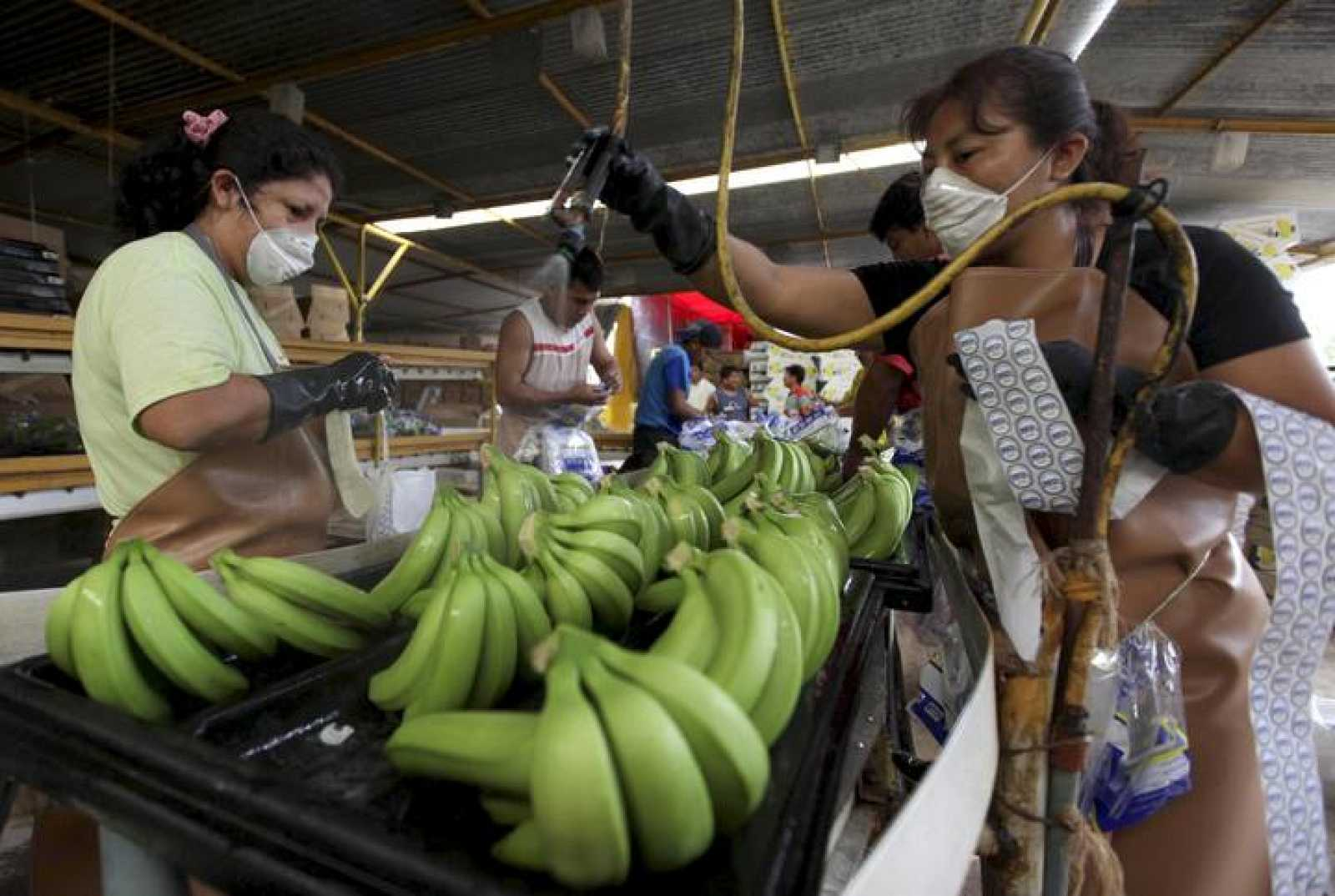 Ecuadorean workers wash bananas before packing them to be exported in Machala