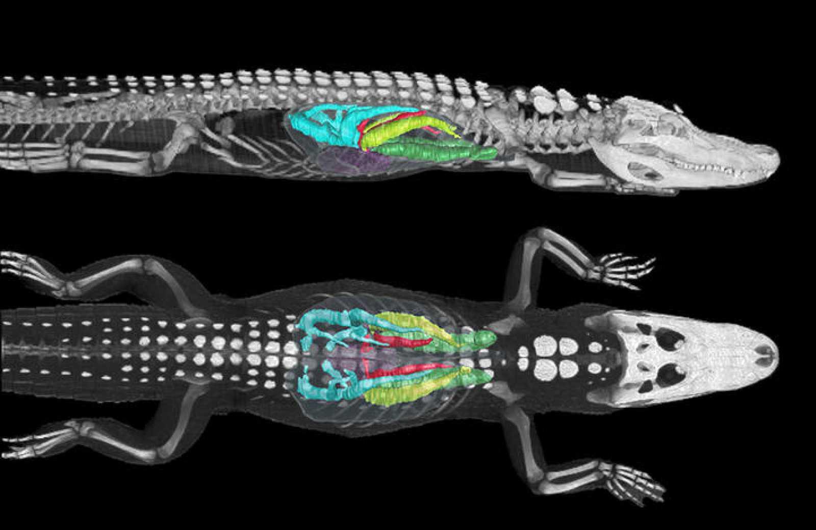 Imagen tomada mediante tomografía computerizada de los pulmones de un caimán americano de 11 kilogramos sumergido.