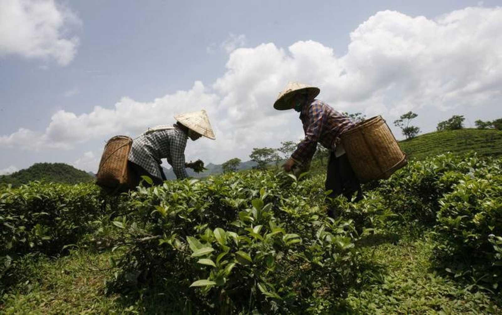 Mujeres trabajando en un campo de té en Hanoi, Vietnam.