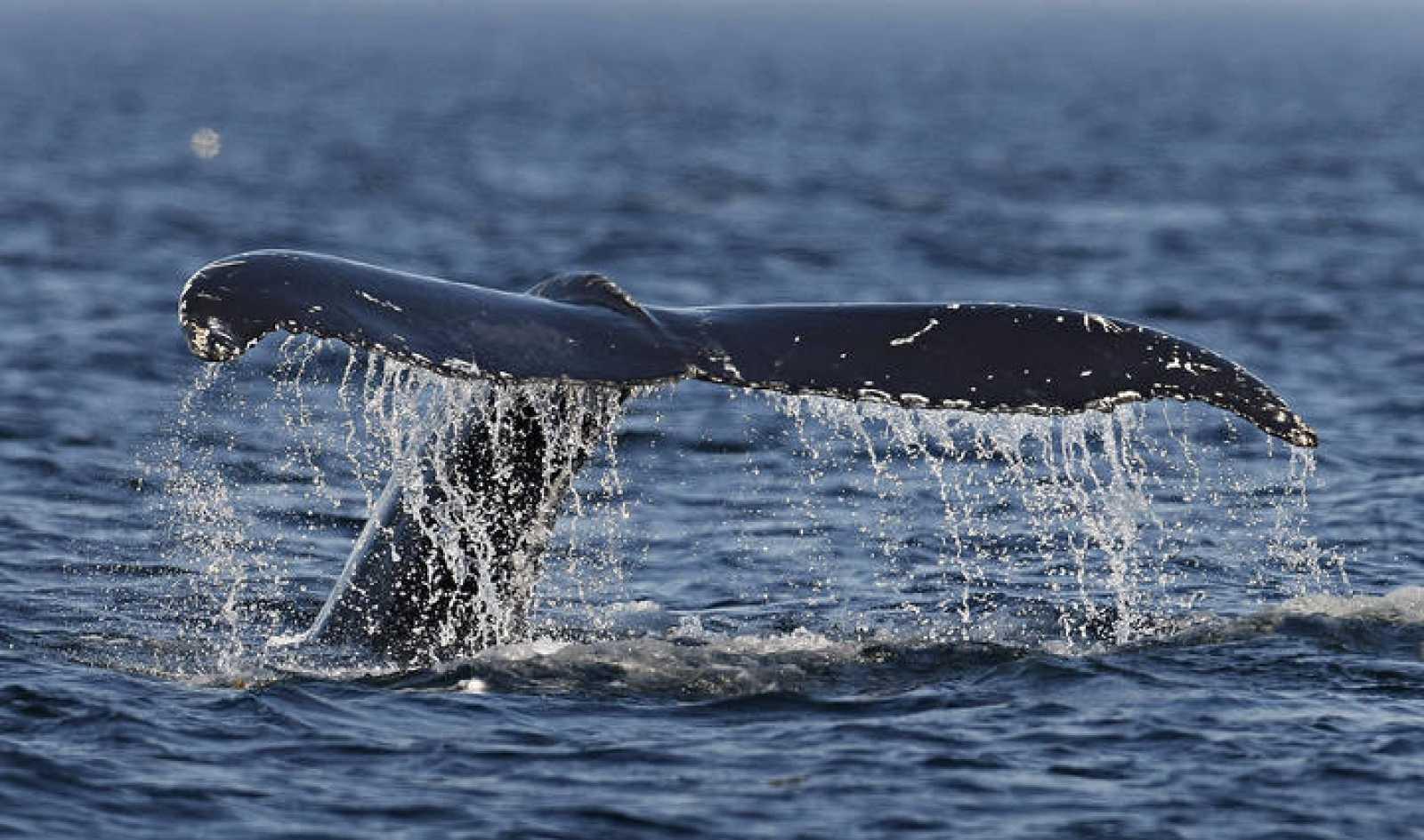 """La CBI podría volver a aprobar la caza comercial de ballenas para controlar a países como Japón, que amparados bajo la """"caza científica"""" matan cientos de ejemplares cada año."""