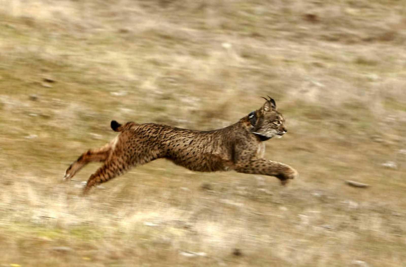 Un lince ibérico corriendo por la sierra de Córdoba