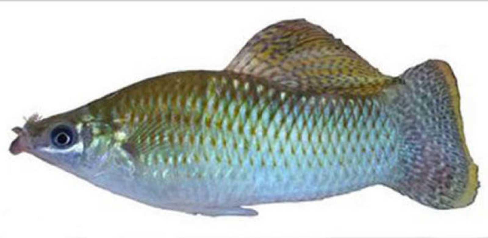 El bigote de los peces mexicanos