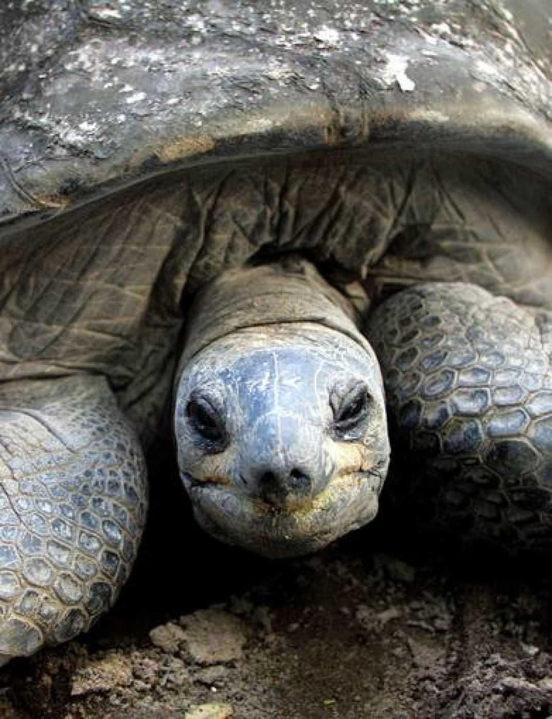 Una tortuga gigante de la actualidad, de las Seychelles y de 225 años