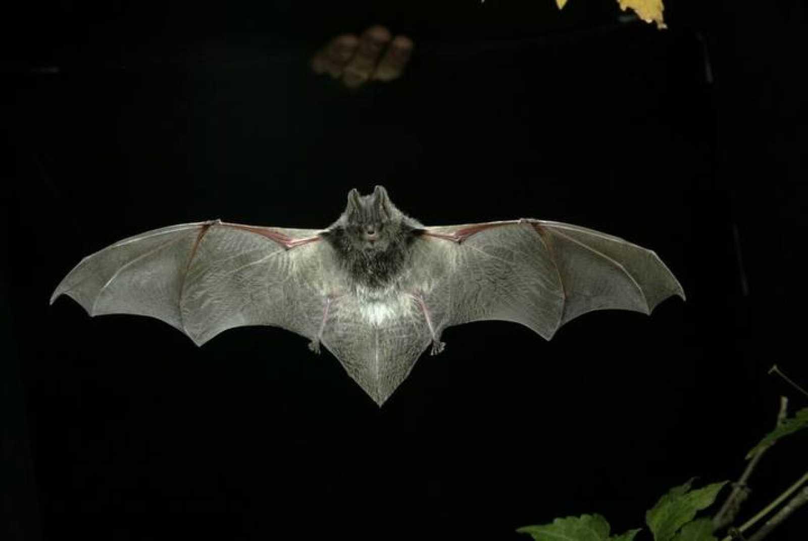 El murciélago 'Barbastella' (Barbastella barbastellus) en pleno vuelo