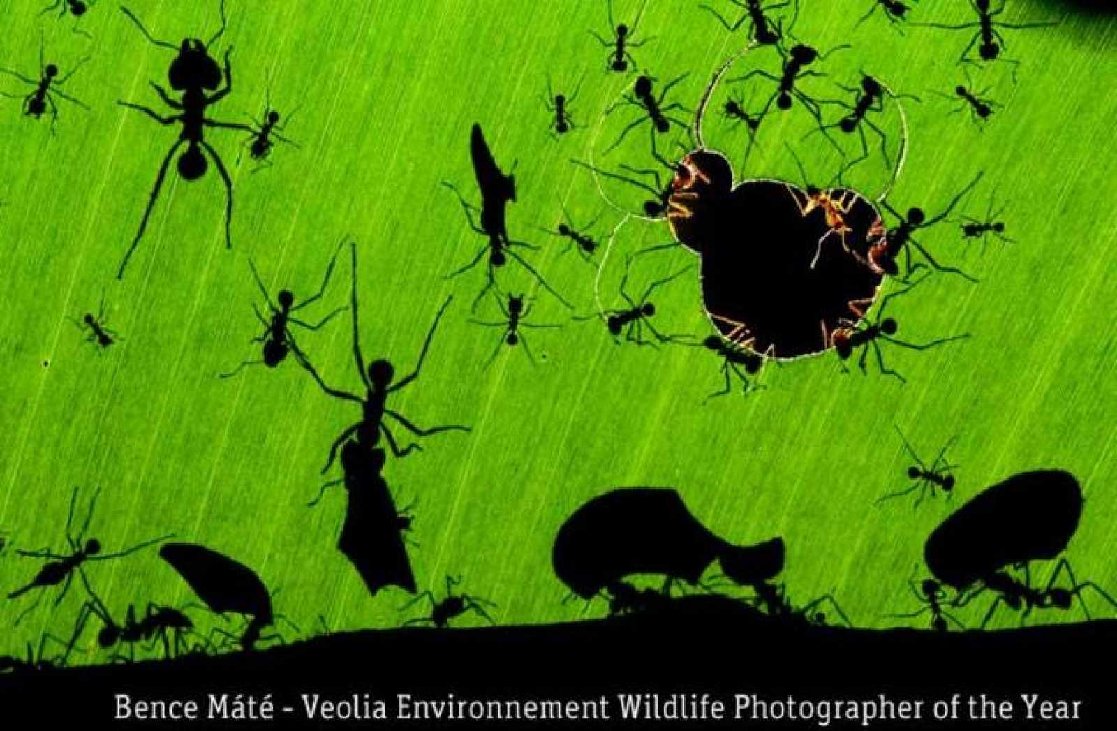 'Maravilla de hormigas', ganadora del Veolia Environnement Wildlife Photographer of the Year