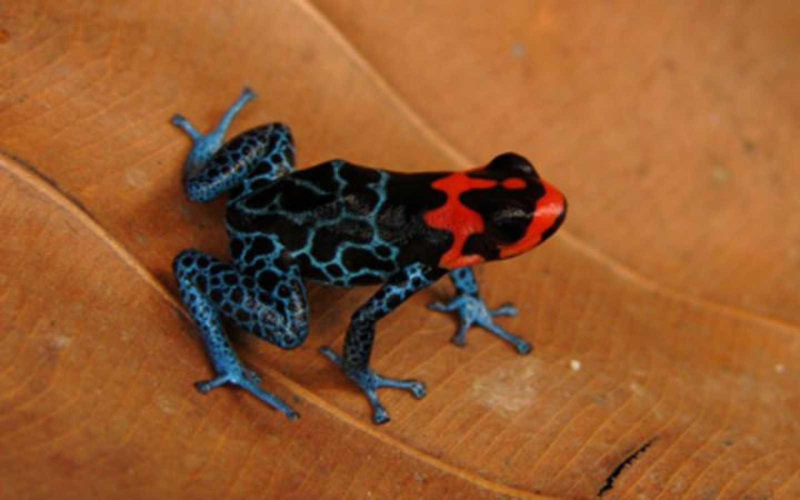 Las ranas pueden hacer del mimetismo un arte
