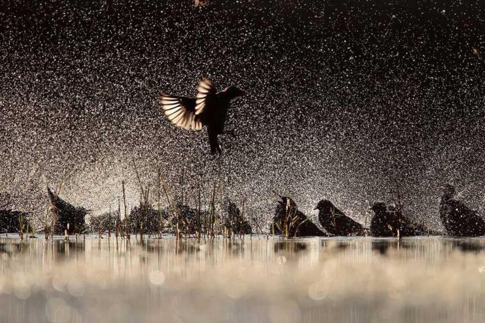 Una bandada de estorninos chapotea en una laguna de Salamanca