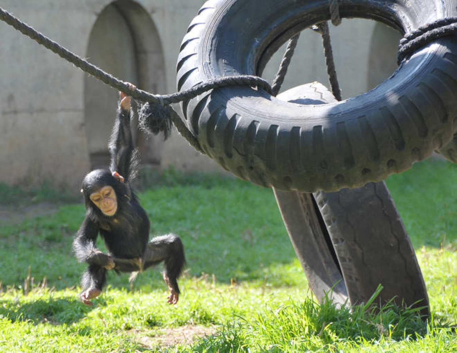 Científicos norteamericanos presentan la primera evidencia de distinción de juguetes entre los chimpancés en función del sexo