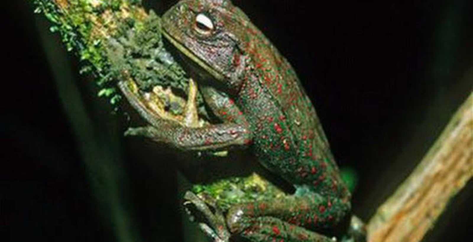 Un ejemplar de las 'ranas marsupiales' de los Andes