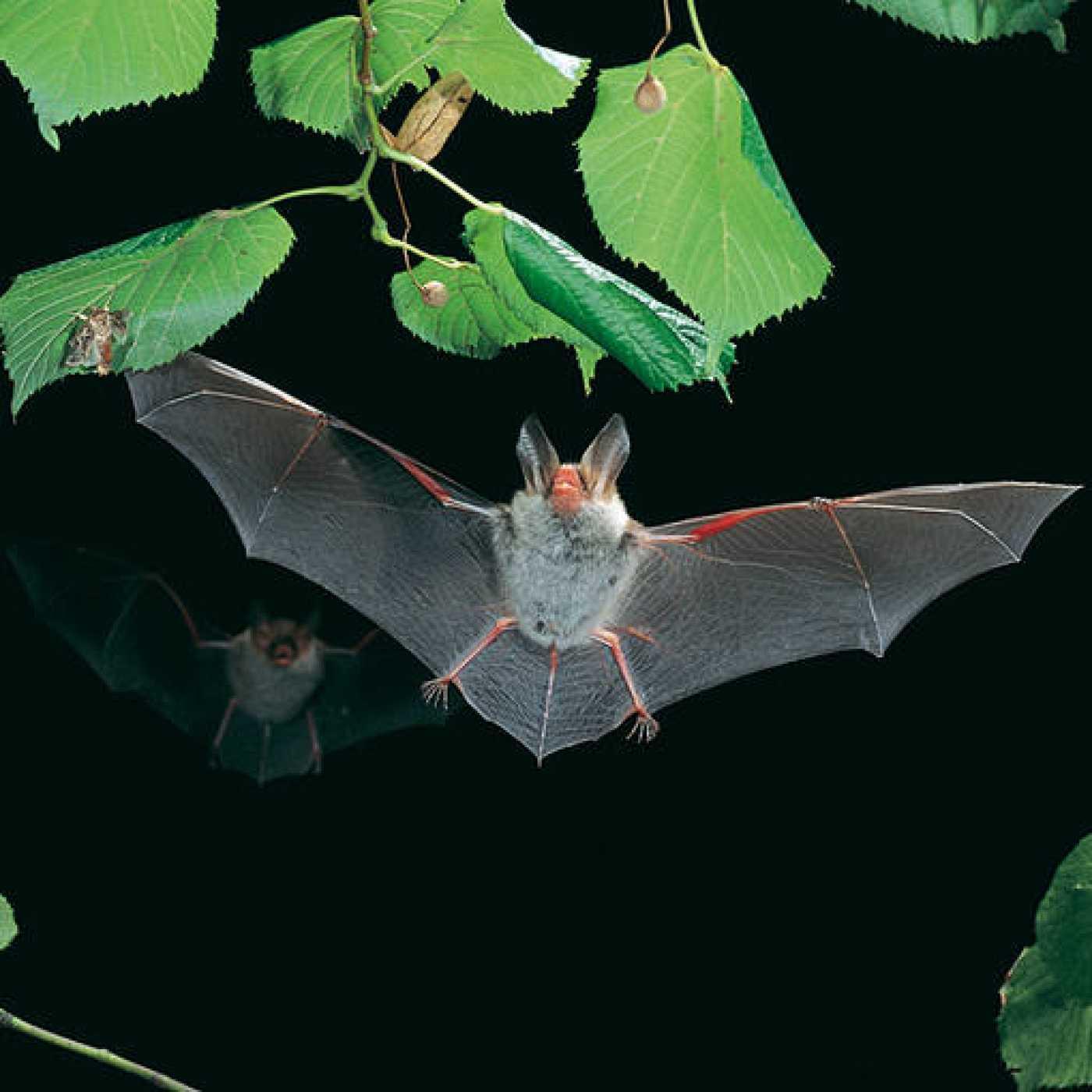 Un murciélago ratonero de bosque ('Myotis bechsteinii') en pleno vuelo