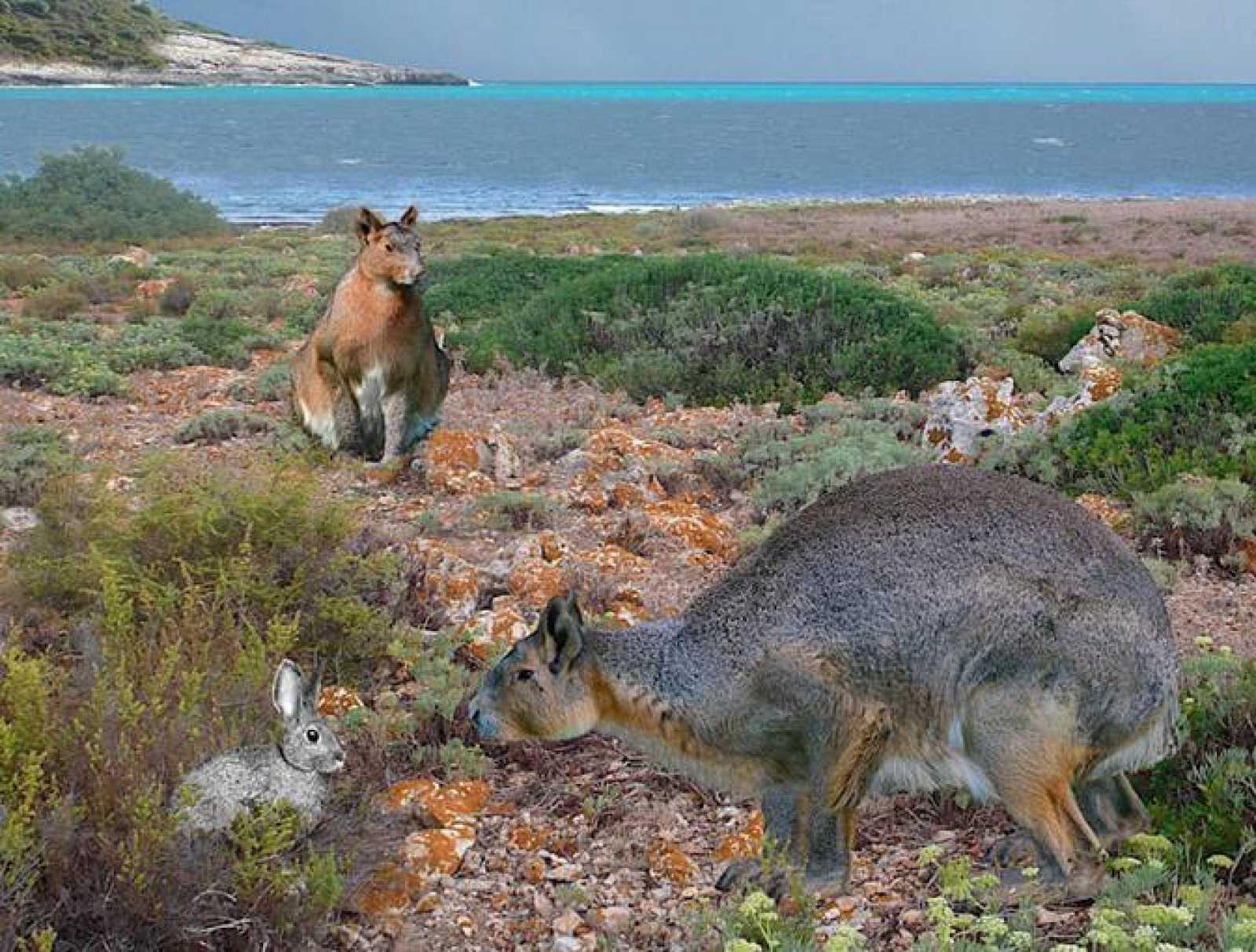 Recreación de un conejo gigante y uno actual en la isla de Menorca