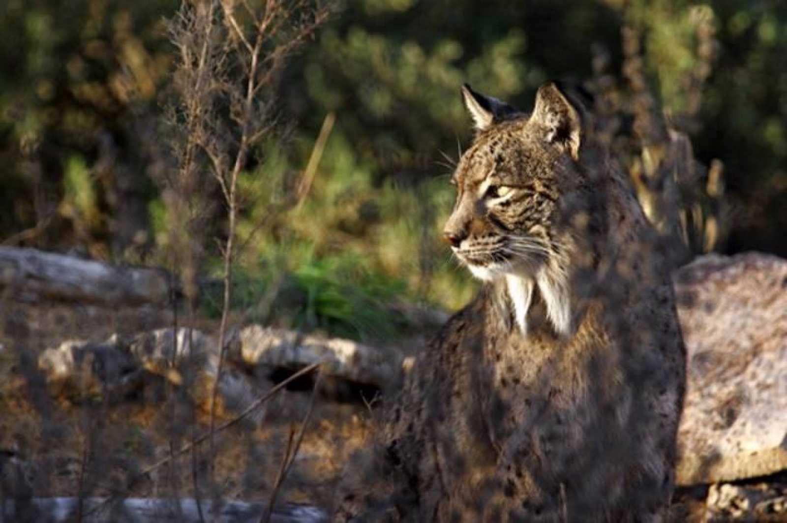 Jub, uno de los machos adultos más prolíficos de la cría en cautividad