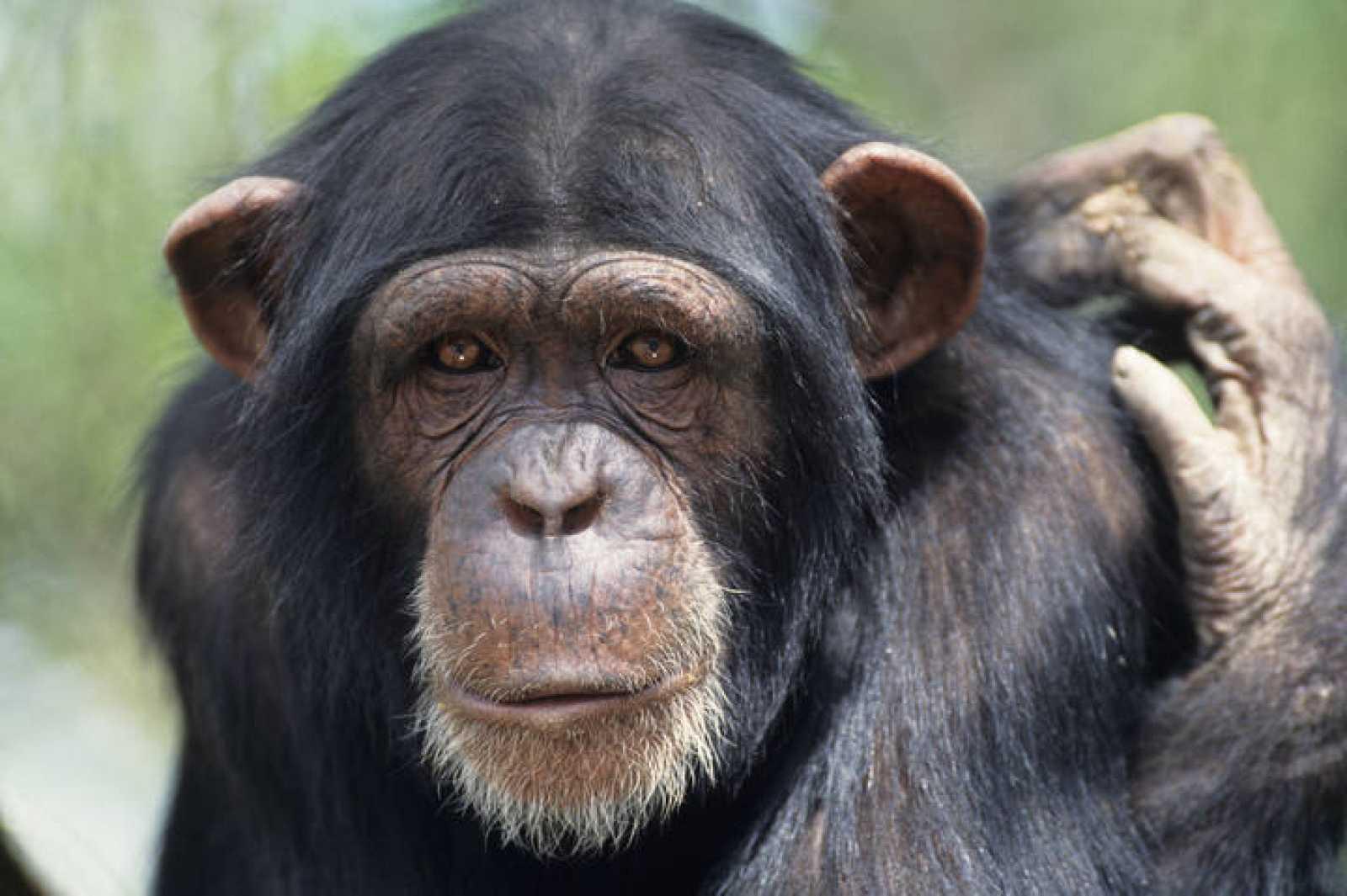 El cautiverio provoca problemas mentales en los chimpancés