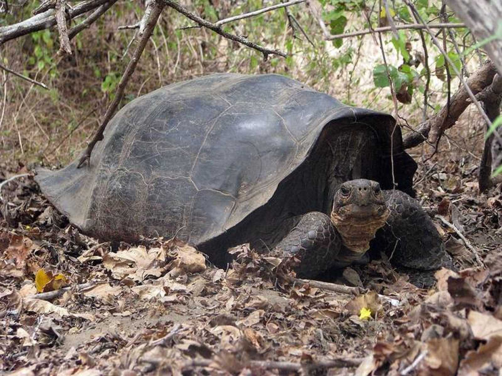 Una tortuga híbrida de 'C. becki' en las que se han descubierto rastros genéticos de la especie desaparecida