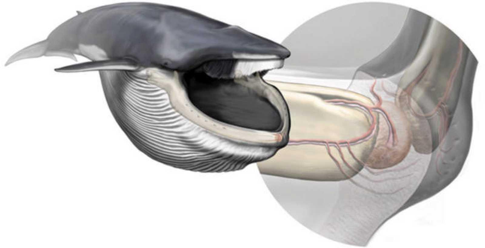 Un órgano sensorial ayuda a las ballenas azules a controlar su dieta ...