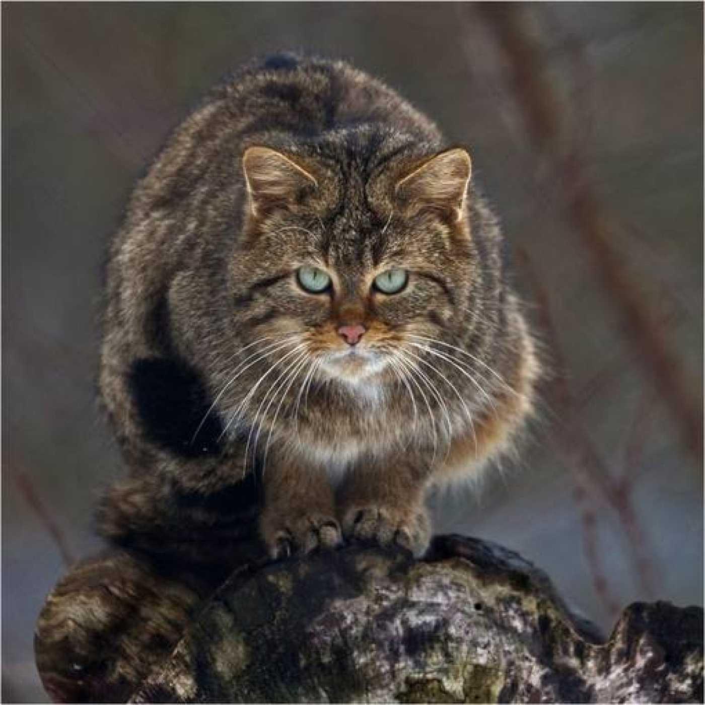 Ejemplar de gato salvaje europeo.