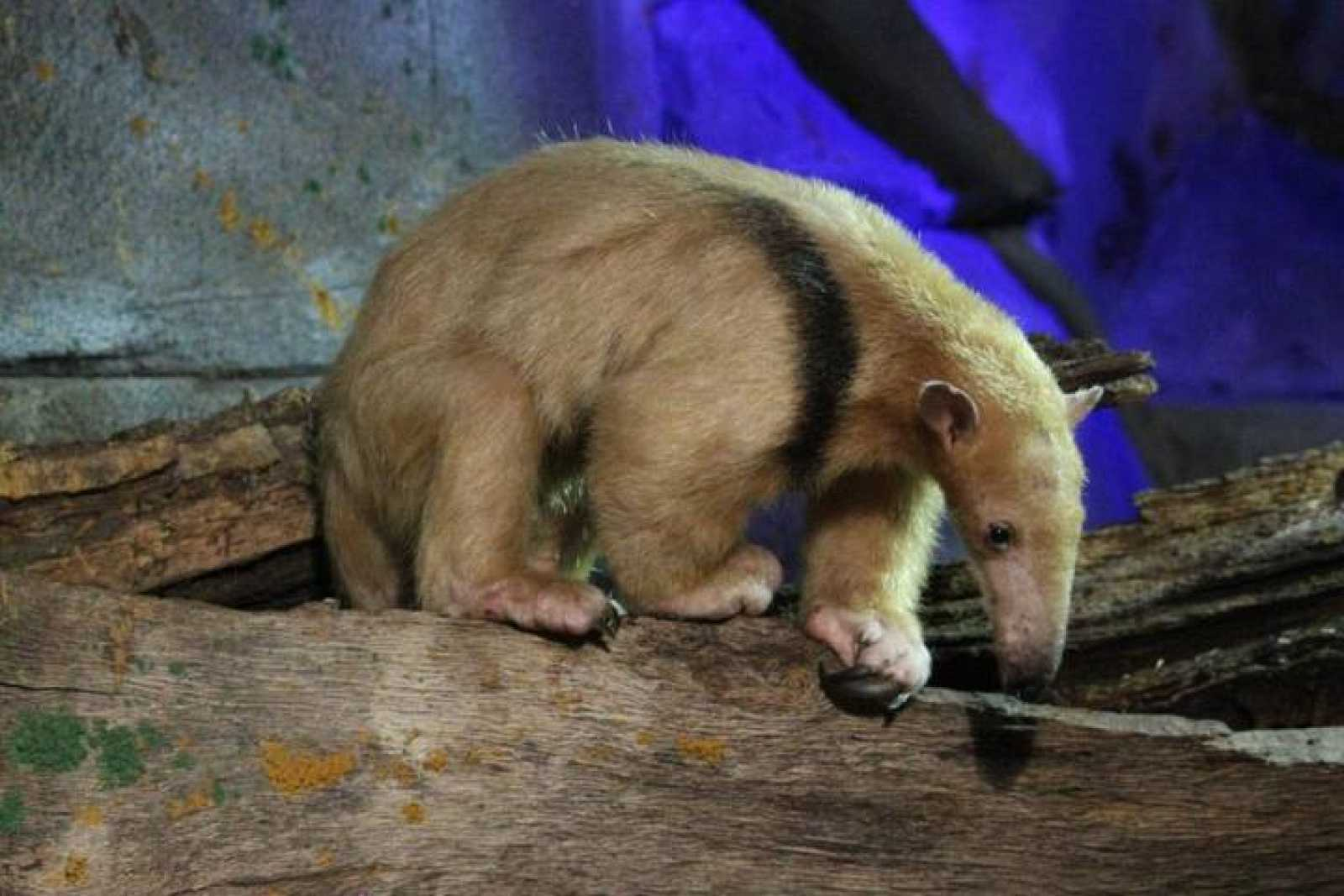 Un ejemplar de oso melero, emparentado con el oso hormiguero.