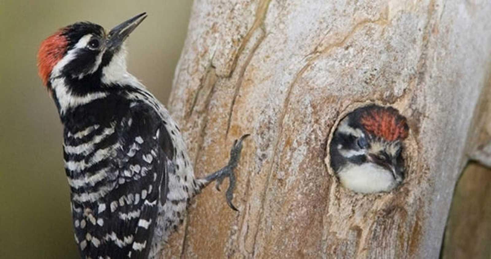 Pájaro carpintero de norteamérica