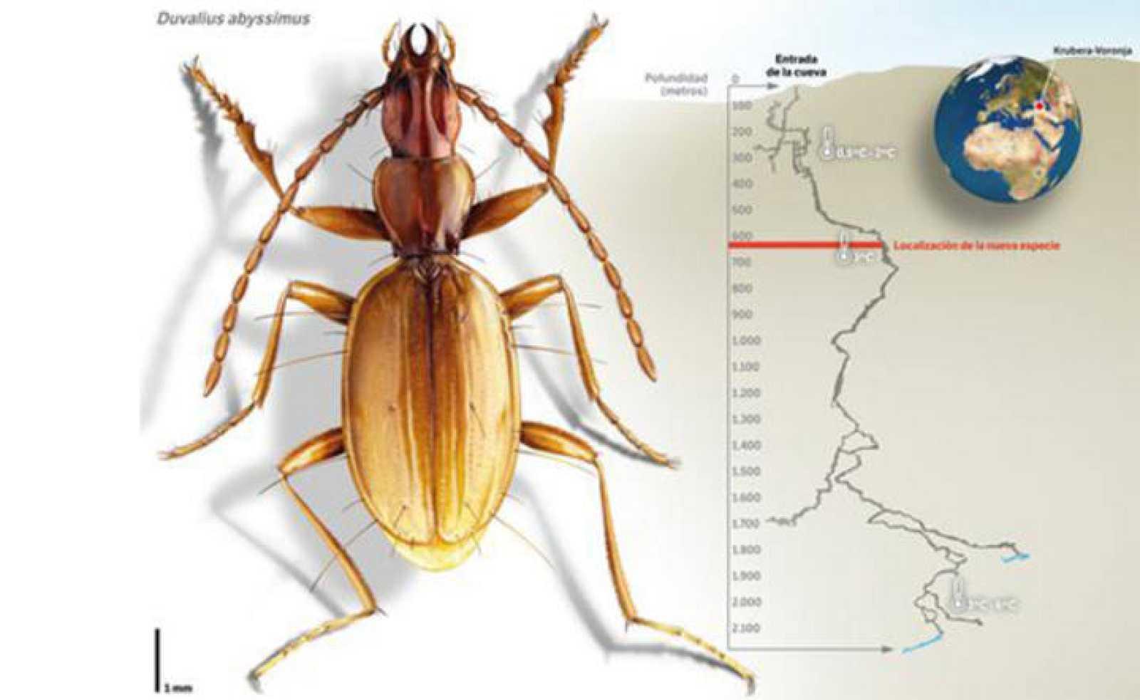 Ilustración de la nueva especie de escarabajo, Duvalius abyssimus.