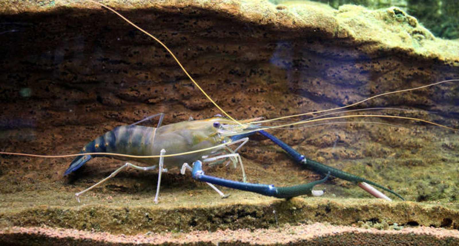 La gamba gigante Macrobrachium rosenbergii, depredadora de caracoles.
