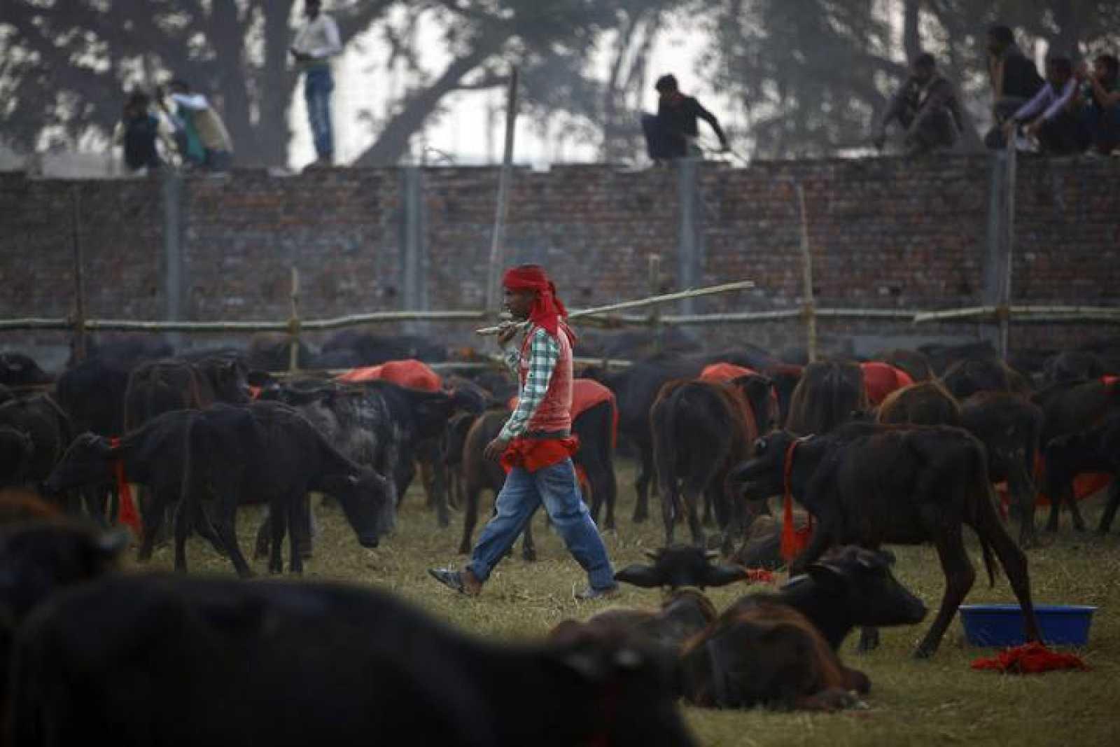 Un pastor pasea entre decenas de búfalos en las horas previas al sacrificio