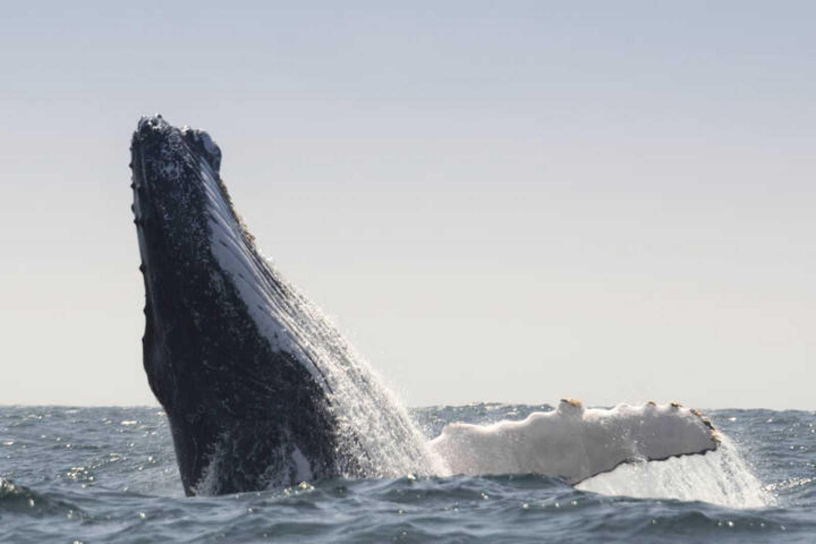 Salto de una ballena jorobada en Puerto López, en Ecuador