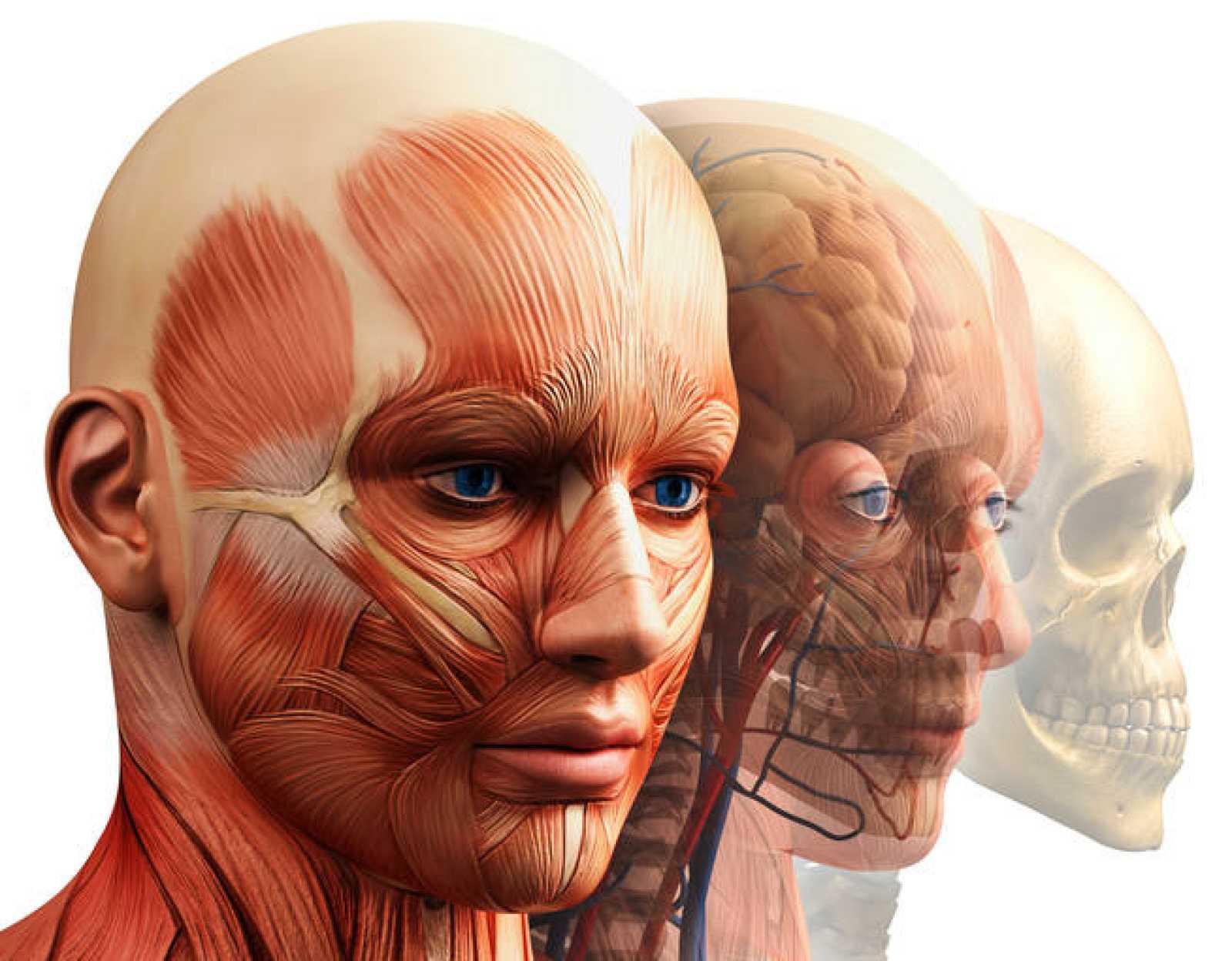 Fantástico Anatomía Cabeza Humana Colección de Imágenes - Anatomía ...