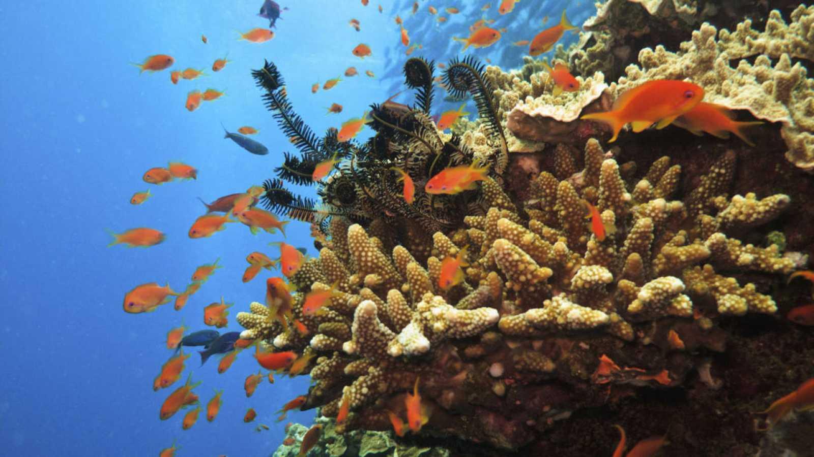 Peces soldado entre la gran barrera de coral australiana
