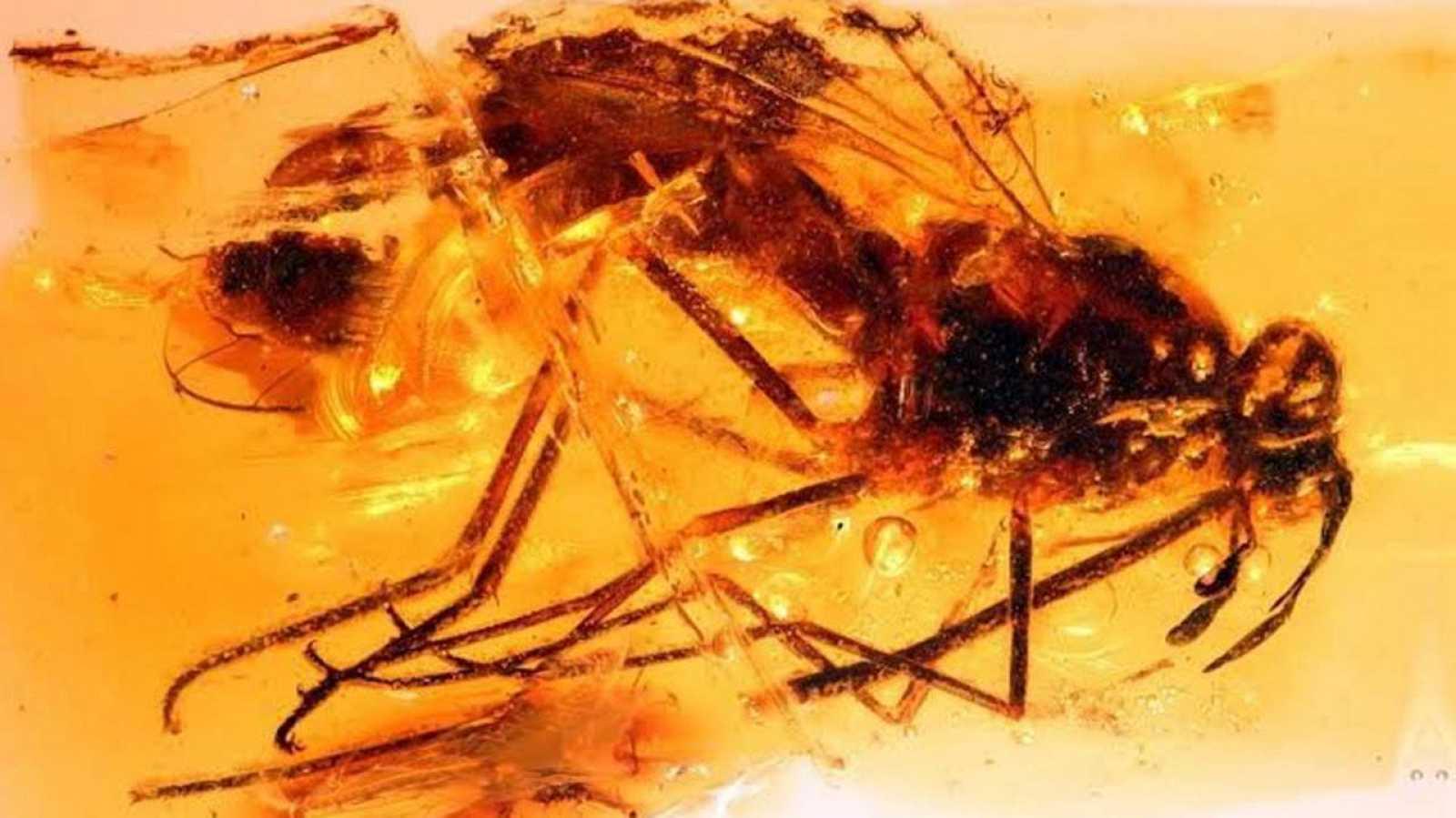Imagen de la mosca zhangsolvidae fosilizada en ámbar