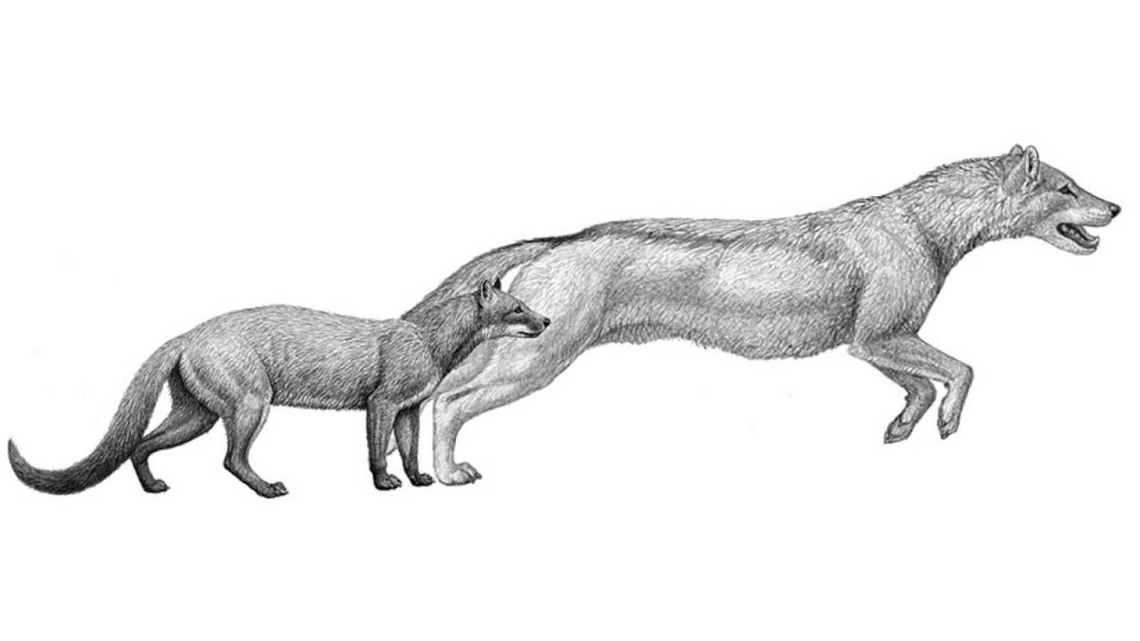 Recreación de dos antiguos cánidos: Hesperocyon (izq) y Sunkahetanka.