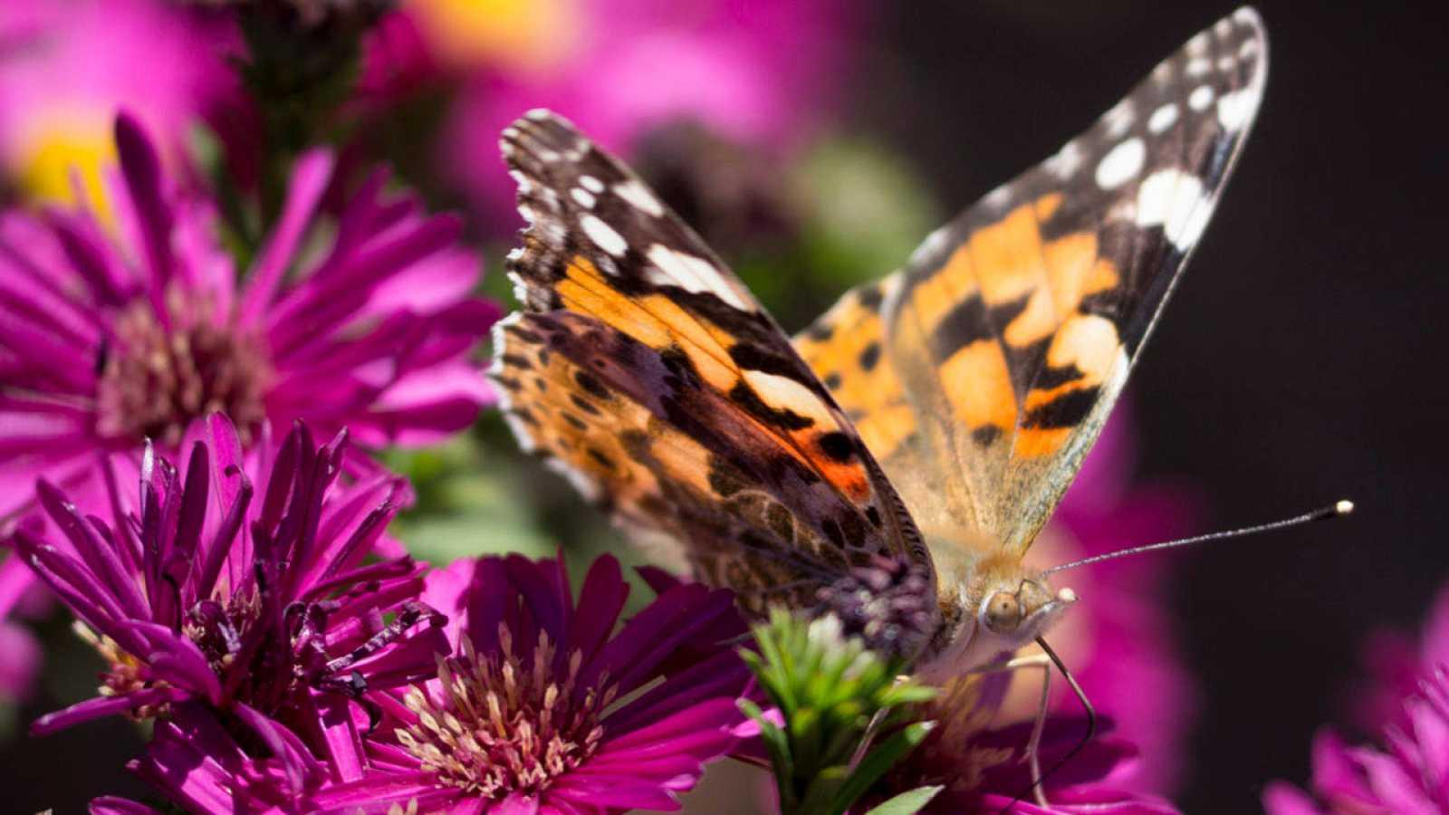 Mariposas Con Genes De Avispa La Naturaleza Crea Animales