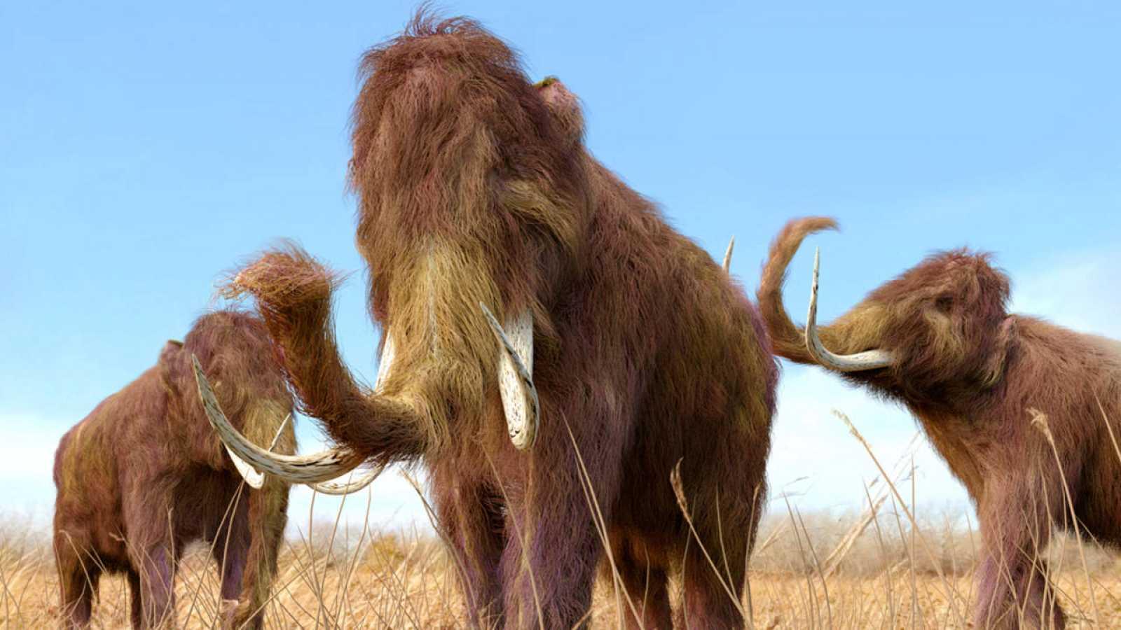 Los científicos quieren reproducir células de mamut para fecundar un óvulo de elefante.
