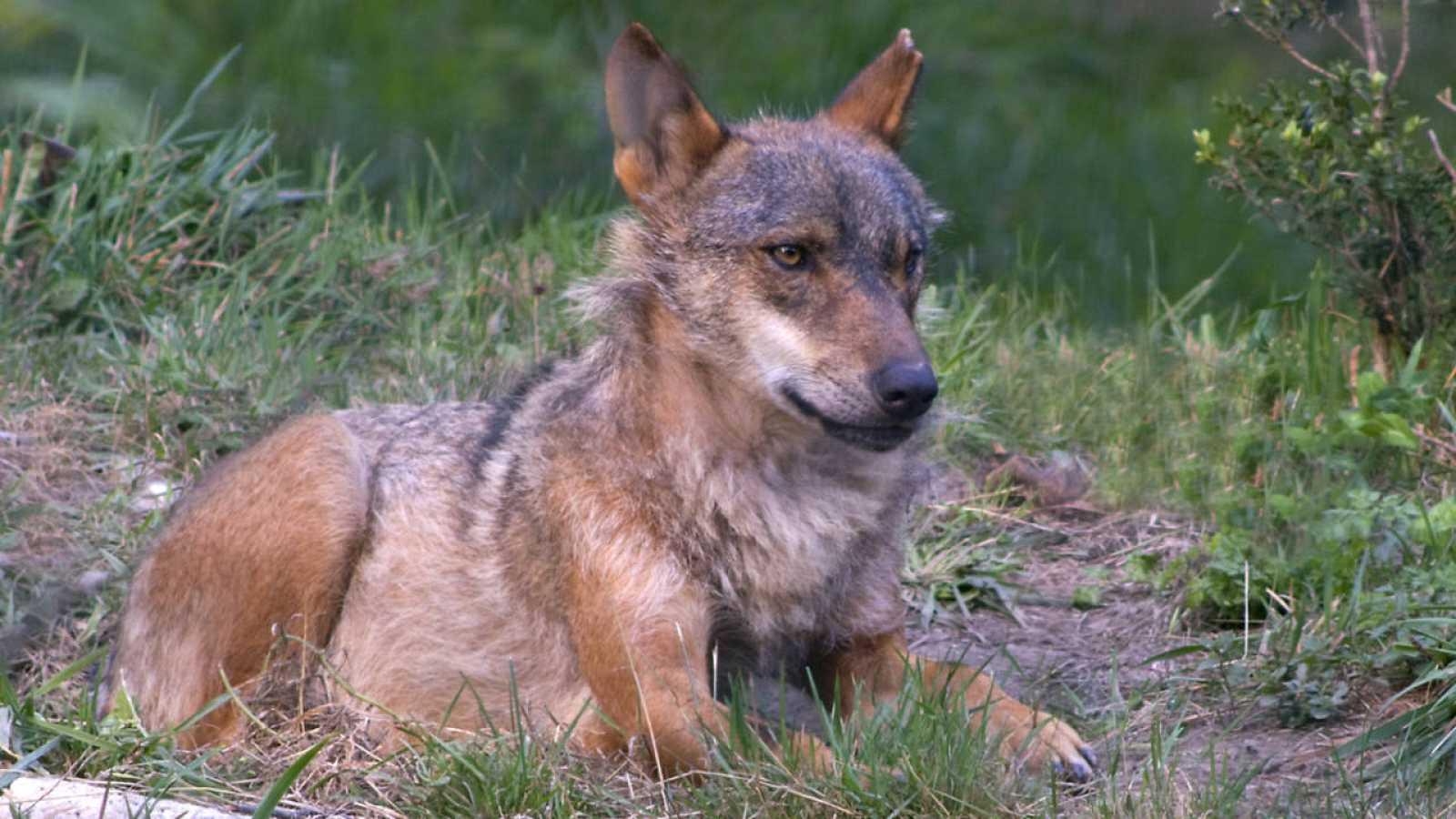 Grupos ecologistas instan a garantizar la futura supervivencia del lobo ibérico.