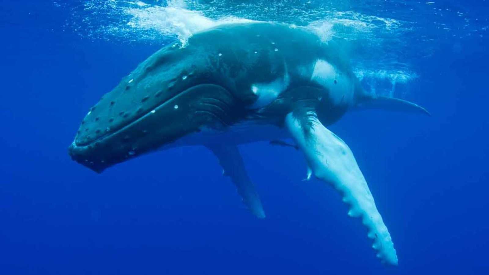 Imagen de una ballena jorobada, o yubarta.