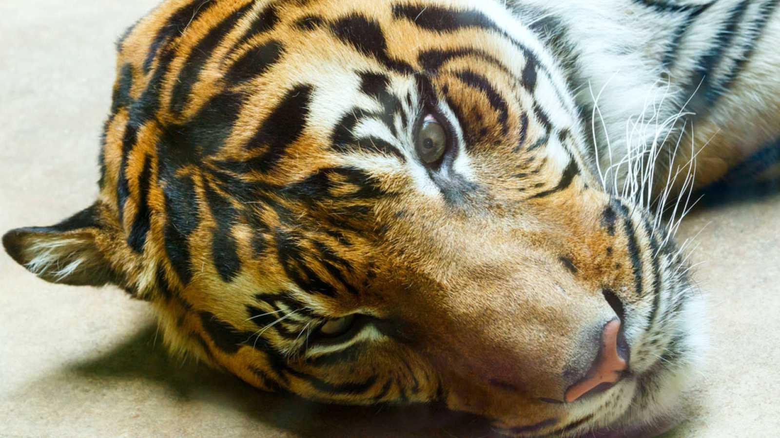 En la actualidad, la población mundial estimada de tigres en libertad es de apenas 3.200 ejemplares.