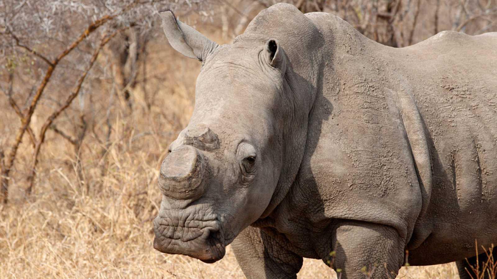 Imagen de un rinoceronte al que le han cercenado los cuernos. Lo habitual es que mueran a manos de los cazadores furtivos.