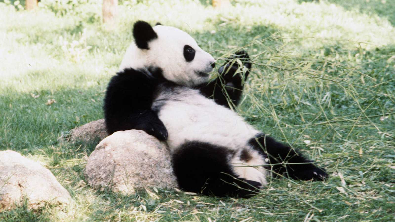 Imagen de archivo del panda gigante Chu-Lin, en su primer cumpleaños, en 1983.