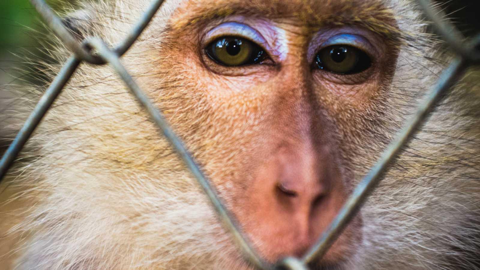 El estudio demuestra, la viabilidad del uso de primates modificados genéticamente para estudiar trastornos en el neurodesarrollo.