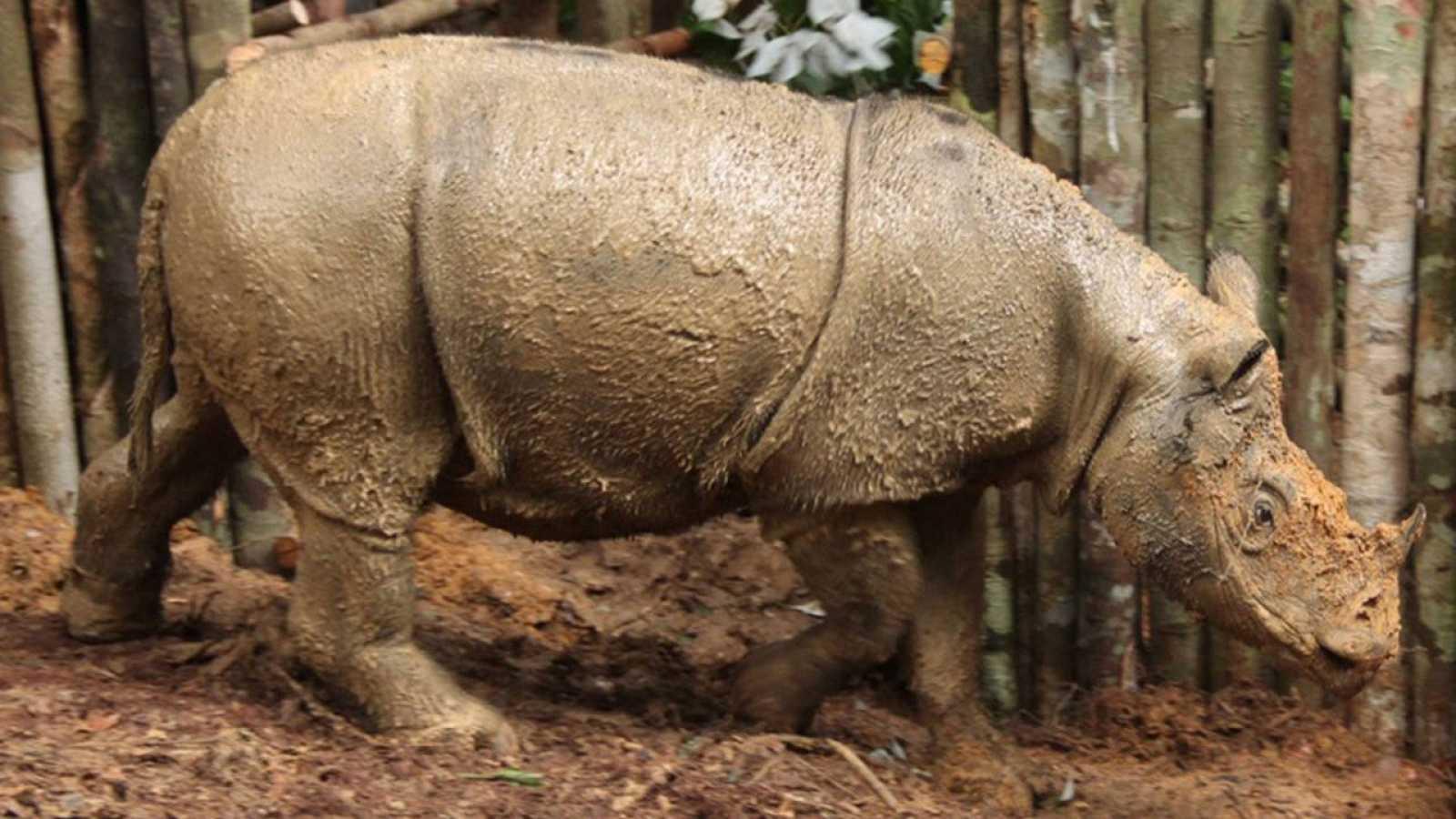 El ejemplar ha sido hallado en Kalimantan, en la parte indonesia de la isla de Borneo.