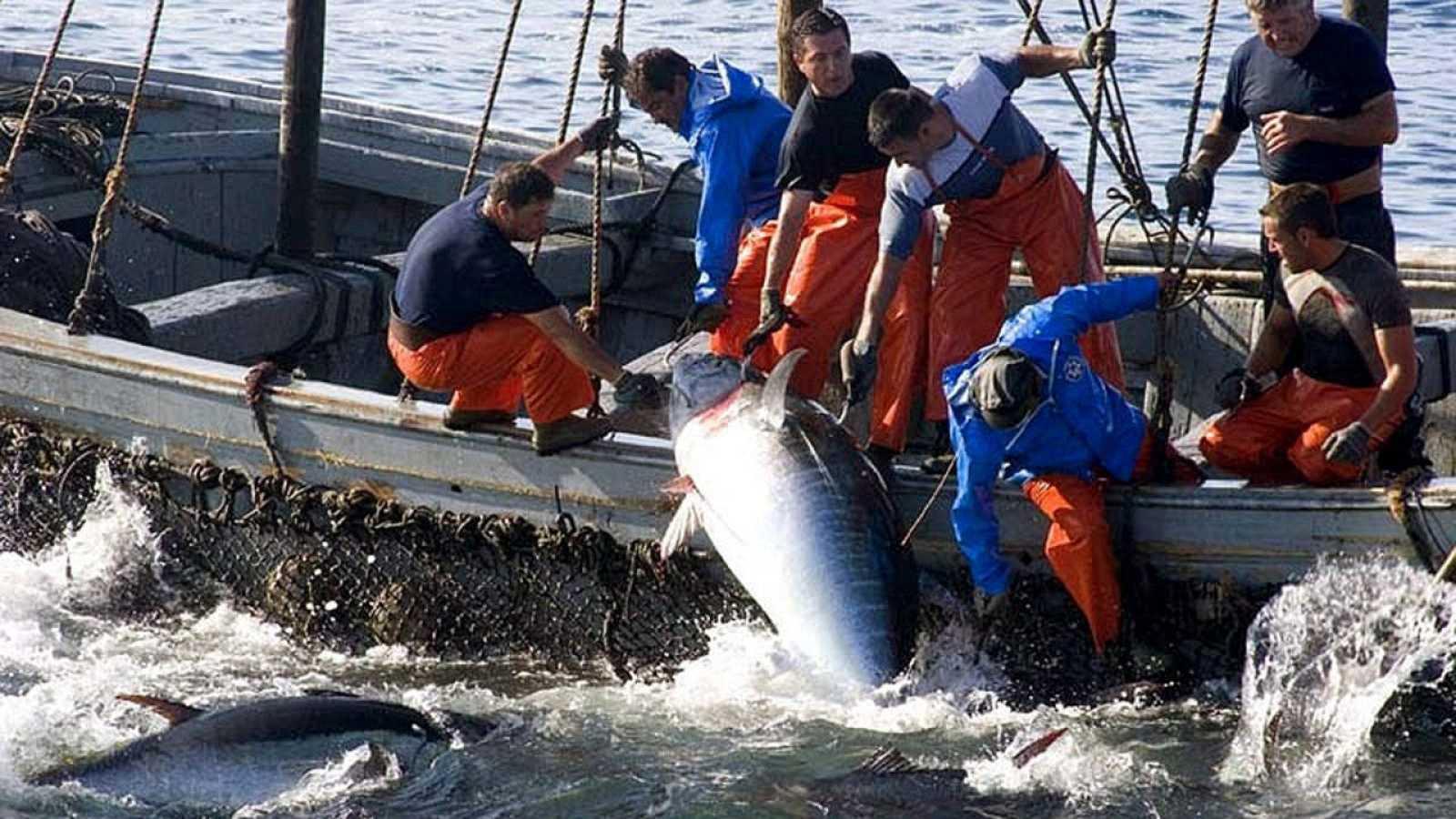 Pesca de atún mediante el procedimiento milenario de la almadraba, en aguas de Cádiz.