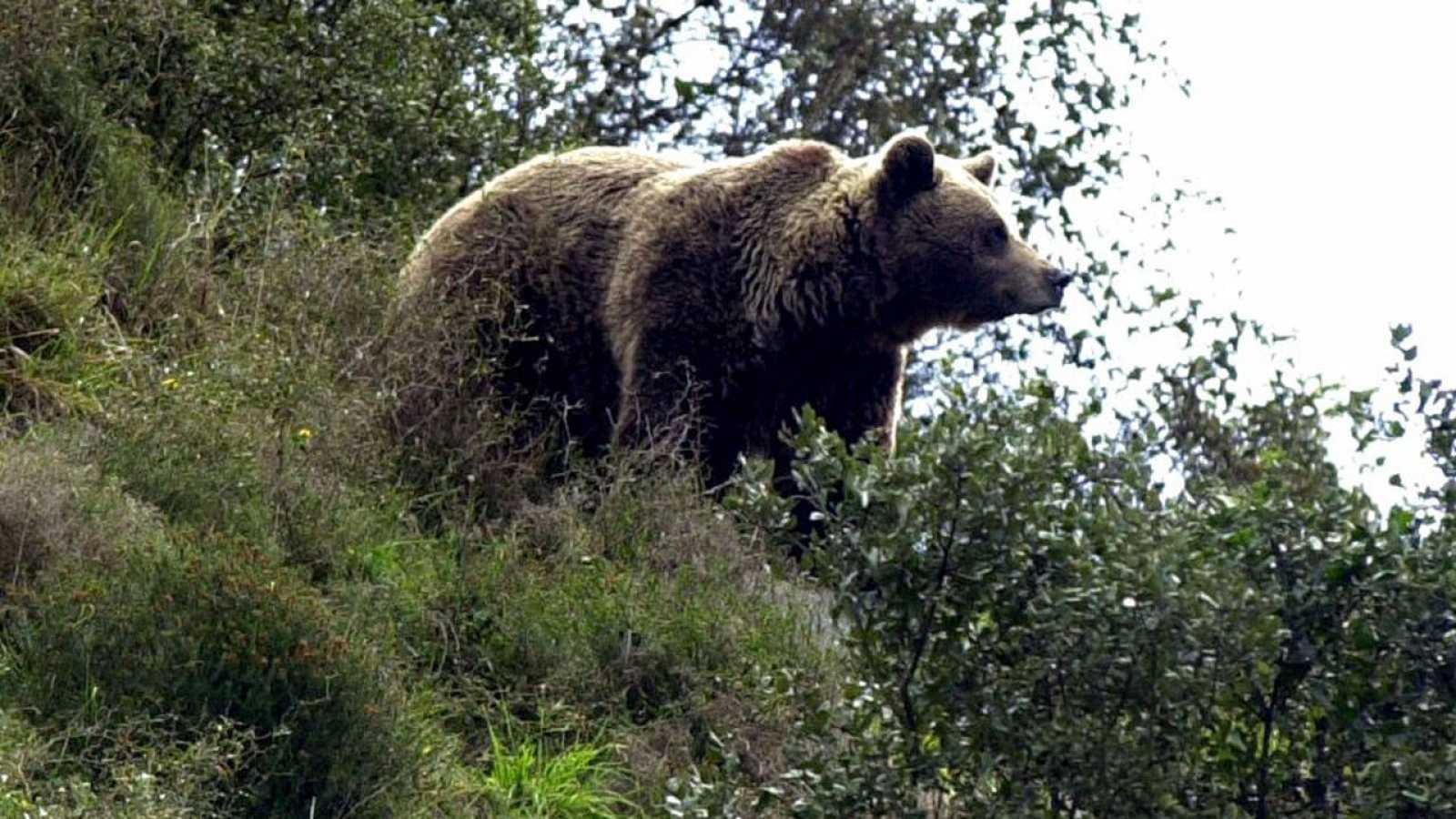 Muere un oso pardo en Asturias a causa de un disparo - RTVE.es