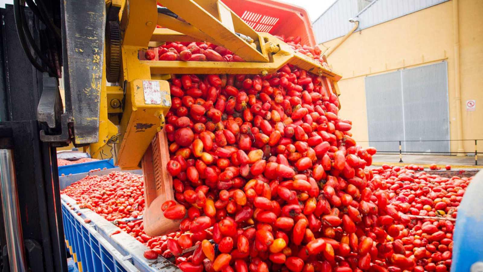 La empresa Citrimed de La Llosa carga tomates en un camión