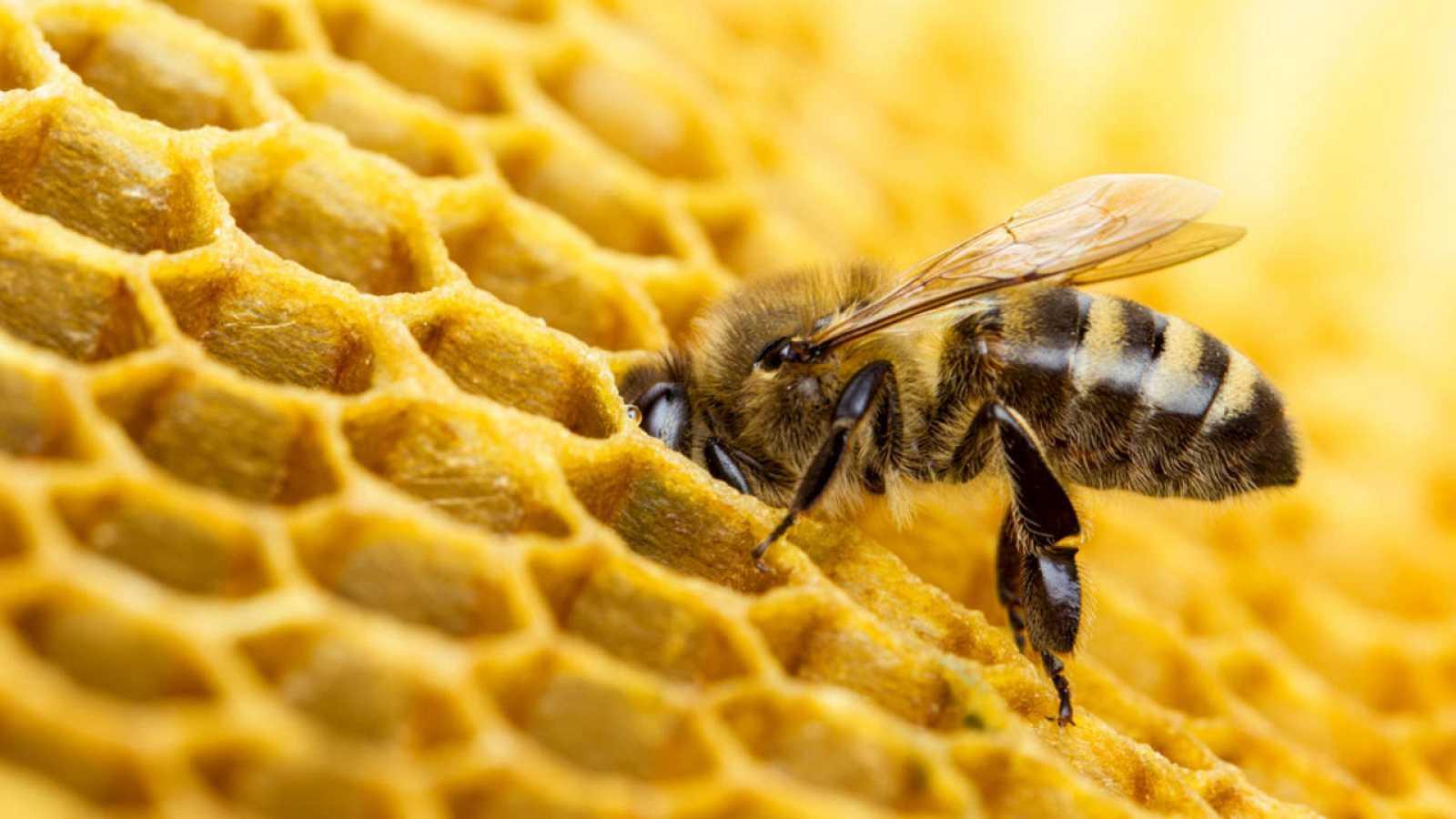 Una abeja produciendo cera en su colmena