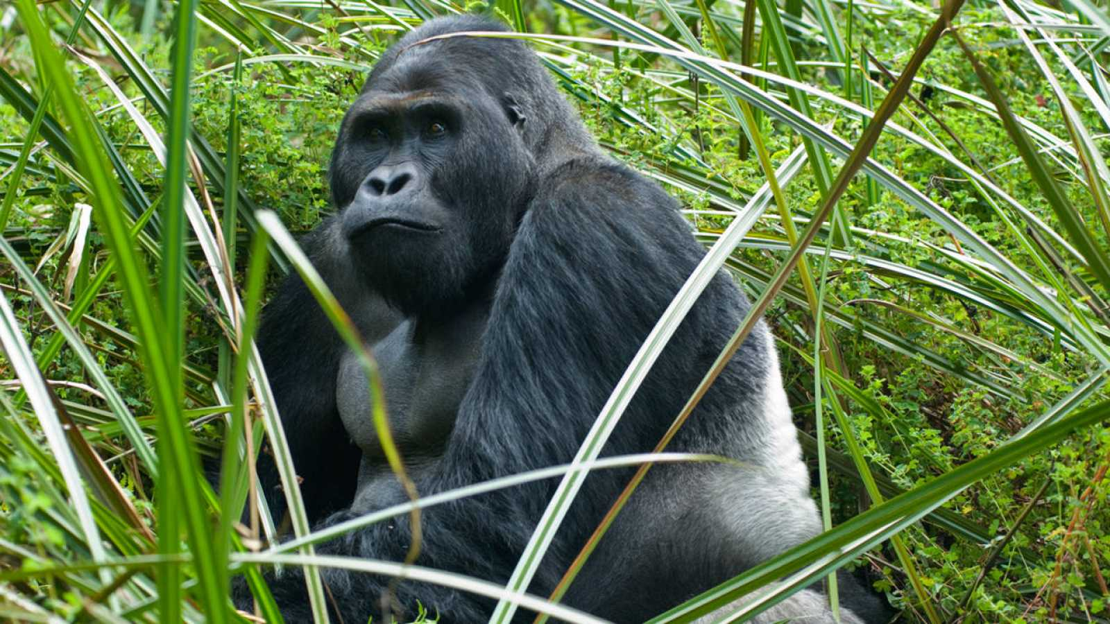 18e1208b4bd5 El gorila de Grauer es el primate más grande del mundo y vive sólo en el