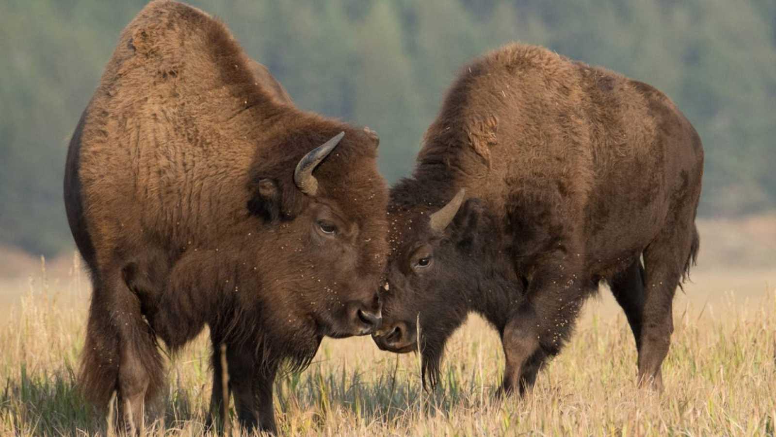 Imagen de archivo de dos bisontes