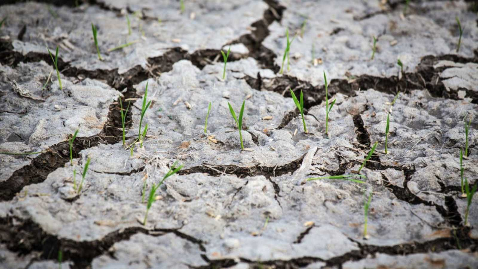 Brotes verdes salen de la tierra resquebrajada por la sequía.