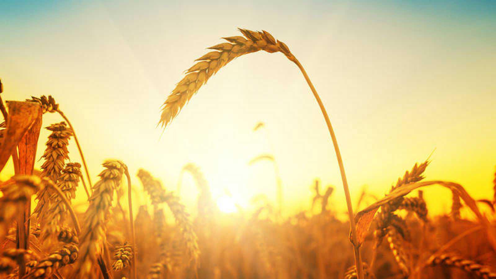 La domesticación de los cereales supuso el origen del desarrollo de la agricultura.